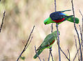 Red Shouldered Parrot 1 (17283816166).jpg