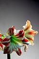 Red and White Amaryllis (8258067912).jpg