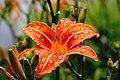 Red lily after rain (Unsplash).jpg