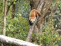Red panda in Darjeeling Zoo AJTJ P1110779.jpg