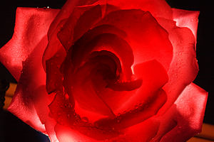English: A backlit red rose with water drops