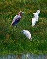 Reddish Egret Brazoria Nwr Texas (30496695).jpeg