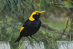 Regent Bowrebird - Lamington NP - Queensland MG 3860 (22145582188).jpg