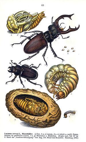 Lucanus cervus - Lifecycle stages of L. Cervus