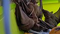 Rescued bats in a carrier at building demolition site 2.jpg