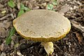Retiboletus ornatipes 02.jpg