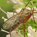 Rhamphomyia variabilis (female) (9743193860).jpg