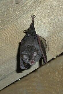Large rufous horseshoe bat httpsuploadwikimediaorgwikipediacommonsthu