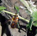 Rhodanthidium sticticum - Flickr - gailhampshire (4).jpg