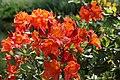 Rhododendron 3032.jpg