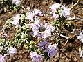 Rhododendron lapponicum serie - University of Copenhagen Botanical Garden - DSC07574.JPG