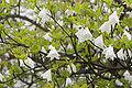 Rhododendron quinquefolium 06.jpg