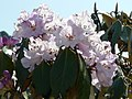 Rhododendrons enroute Tungnath temple, Uttarakhand.jpg