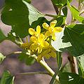 Ribes aureum fleurs2.jpg