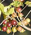 Ribes nigrum-1.jpg