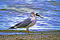 Ring-billed Gull with Seahorse.jpg