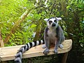 Ring-tailed lemur in Kiev petting zoo.jpg