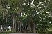 Ringling Museum Banyan tree Sarasota Florida.jpg