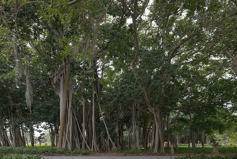 File:Ringling Museum Banyan tree Sarasota Florida.jpg