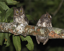 Two Rinjani Scops Owls perched on a branch