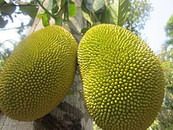 Jackfruit from Dharmadam