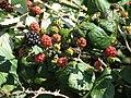 Ripening blackberries in hedge near Boundary Farm - geograph.org.uk - 538516.jpg
