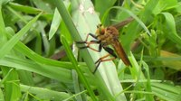 Файл:Robber fly (Cophinopoda chinensis).webm