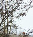 Robin (4426043187).jpg