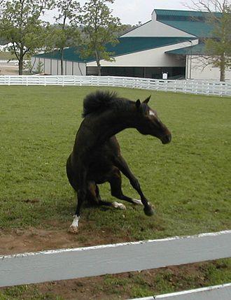 Cigar (horse) - Cigar's daily roll in the dirt at Kentucky Horse Park