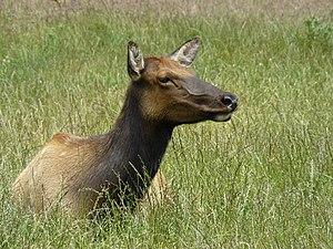Roosevelt elk - Female at Prairie Creek Redwoods State Park, California, US
