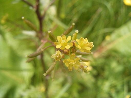 Rorippa palustris R0016754