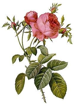 Rosa ×centifolia