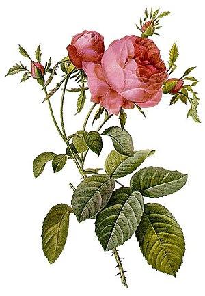 Rosa × centifolia - Rosa centifolia foliacea