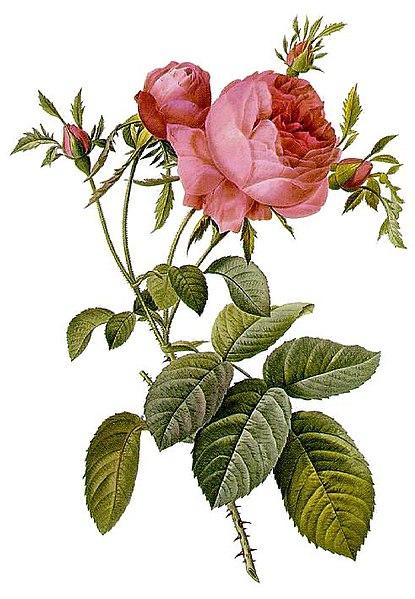 http://upload.wikimedia.org/wikipedia/commons/thumb/2/21/Rosa_centifolia_foliacea_17.jpg/415px-Rosa_centifolia_foliacea_17.jpg
