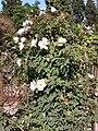 Rosa majalis plant (06).jpg