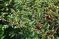 Rosa spinosissima fruit (07).jpg