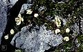 Rosa spinosissima inflorescence (57).jpg
