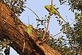Rose-ringed parakeet (Psittacula krameri) female (l) male (r).jpg