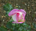Rose Hybride de Thé JdP 10 2011.jpg