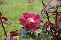 Rose Unknown 066 20070601.jpg