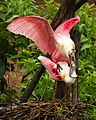 Roseate spoonbills at Smith Oaks Sanctuary, High Island, mating.jpg