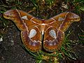 Rothschildia aricia xanthina. Saturniidae - Flickr - gailhampshire.jpg