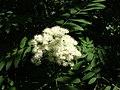 Rowan flowers-oliv.jpg