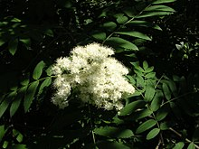 Cluster of fuzzy white flowers against foliage in dappled shadow