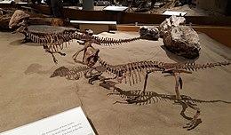 Stegoceras Museum Of Natural History