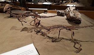 Stegoceras - Two reconstructed S. validum skeletons, Royal Tyrrell Museum