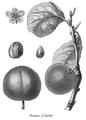 Rozier - Cours d'agriculture, tome 8, pl. 29, damas d'Italie.png