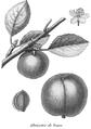 Rozier - Cours d'agriculture, tome 8, pl. 30, abricotée de Tours.png