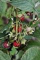 Rubus idaeus 4zz.jpg