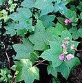 Rubus odoratus G1.jpg